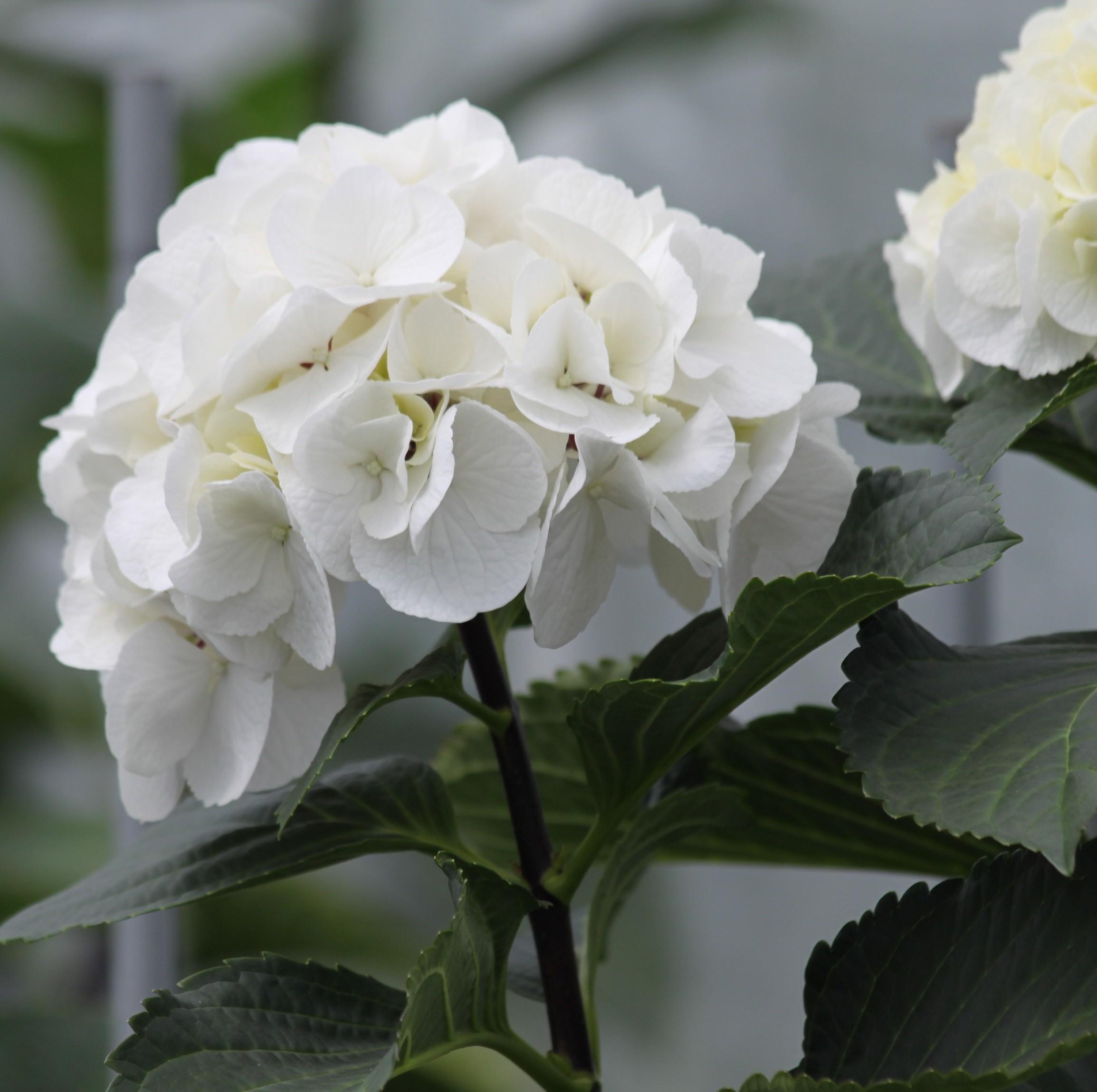 hortensia-macrophylla-_black-steel-white_
